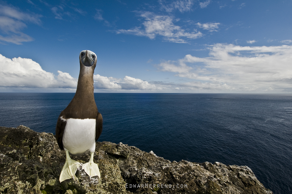 Brown Booby - Cocos Island