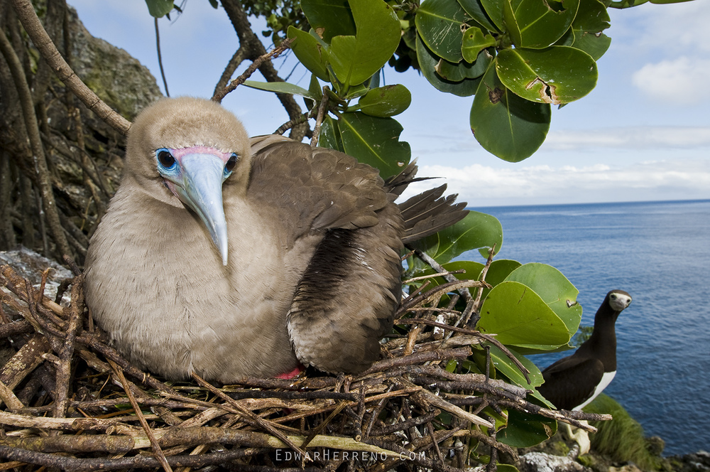 Red footed Booby Nesting - Manuelita