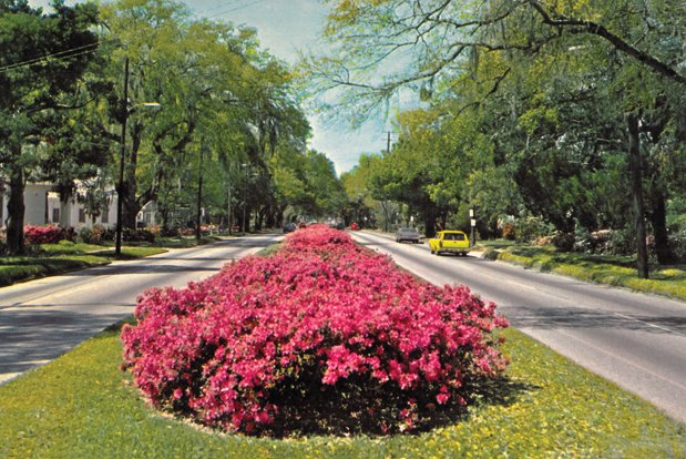 Beds of azaleas replaced the abandoned trolley tracks on Spring Hill Avenue's medians in the decades following World War II. By the 1950s, the road had become a major feature of the city's Azalea Trail, even warranting this post card view from the 1960s. -  Tom McGehee, Ask McGehee, Mobile Bay Magazine, April 2013