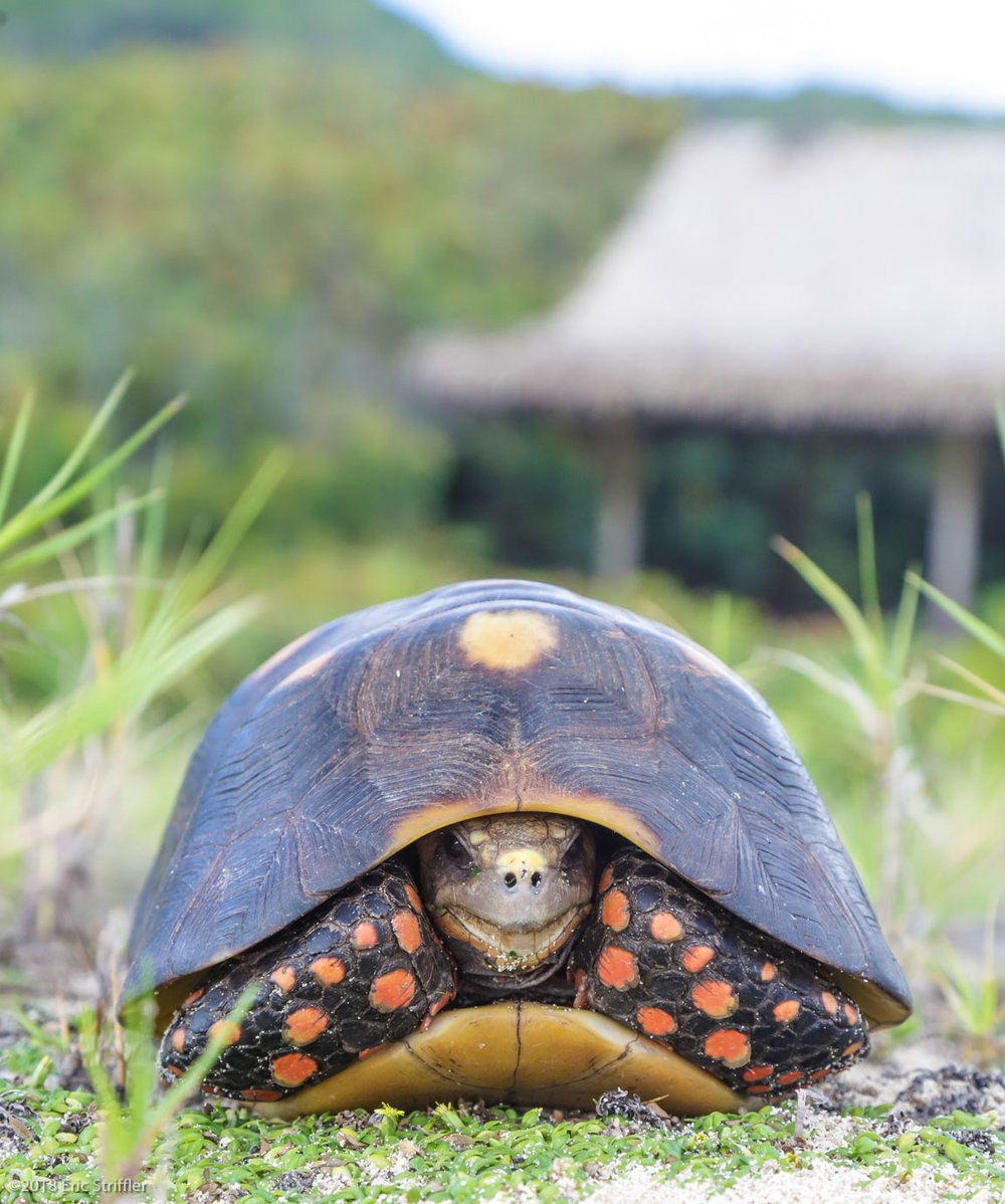 Tortoises galore in Mustique