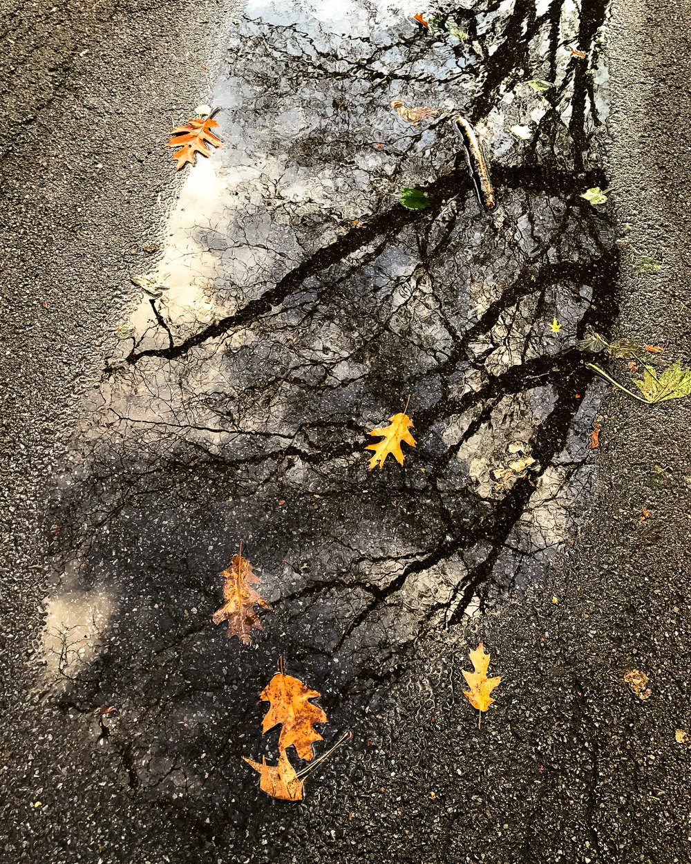 Scattered in this puddle are leaves from the surrounding Oaks, the Sweetgum (the folded five pointed leaf), and the Littleleaf Linden. Though I'm still learning how to identify the leaves of each tree, I'm not an expert yet on which leaves belong to which trees or how far they traveled. What I love most is that the leaves and the branches become one, even after the leaves have drifted down.