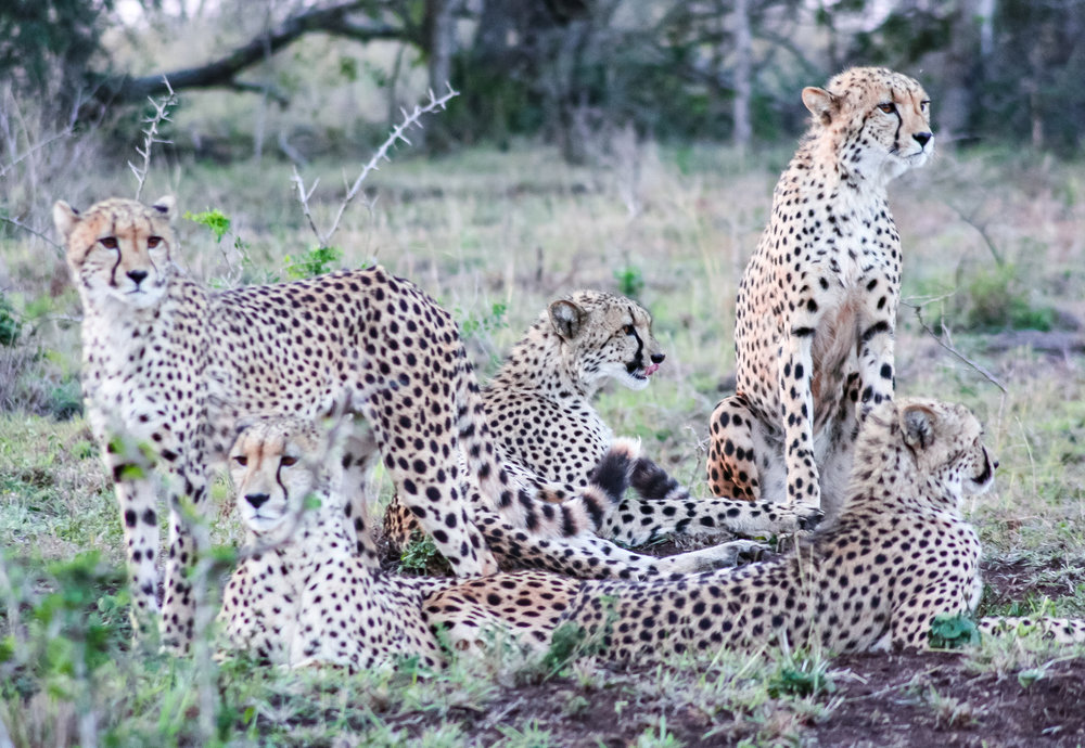 The cheetah populations in Phinda Private Game Reserve are a highlight.