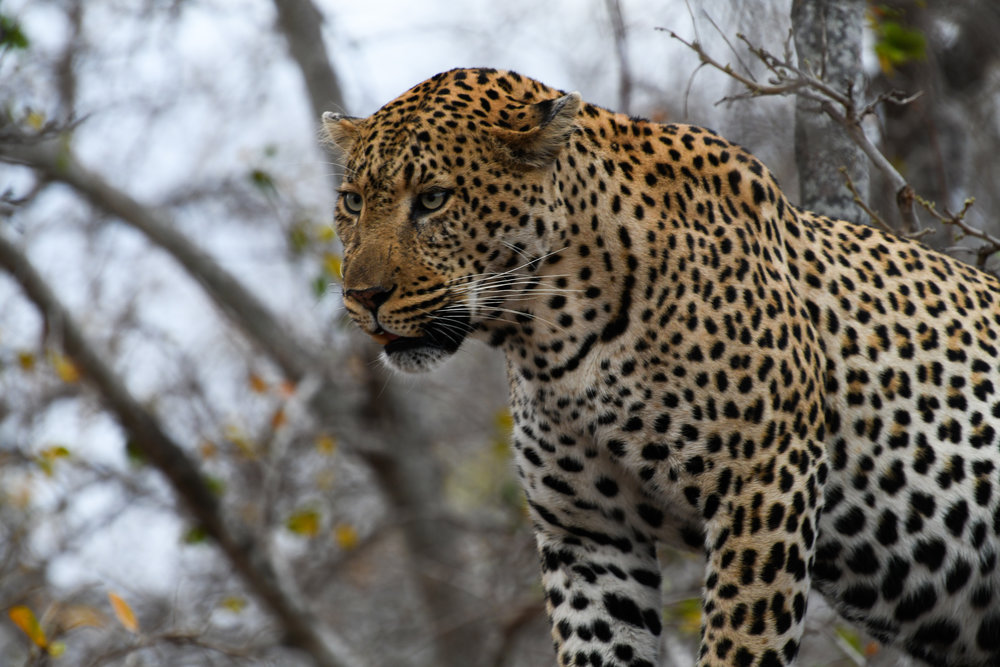 Same leopard photographed with fast shutter speed.