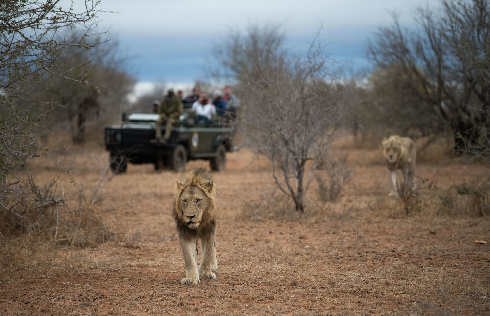 Male Lions: An iconic South African safari game drive. This is not a zoo, these male lions are free to roam as the please, we are just there to observe & take our photos.