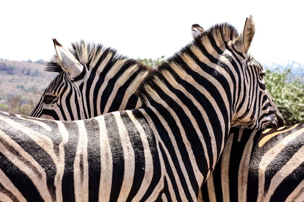 2 zebra that when completely relaxed took a short nap on each other.