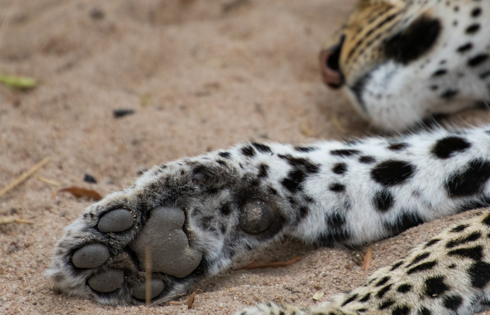 Focusing just on the smaller details like the paw of this sleeping leopard.