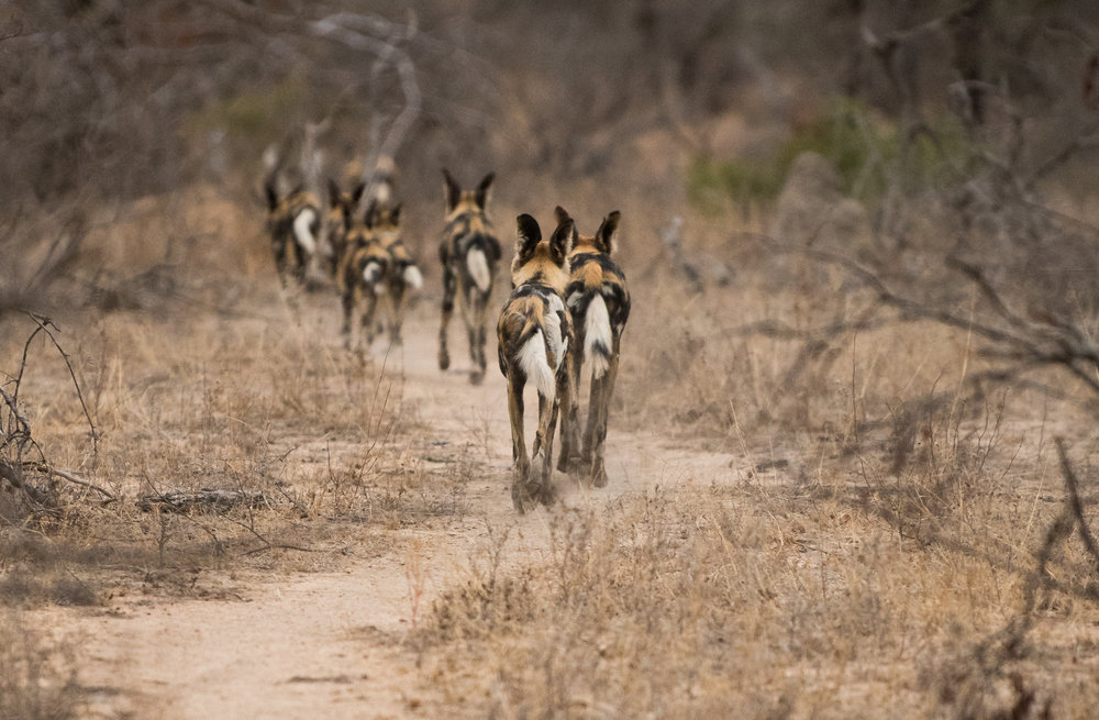"Sometimes even when the animals are walking away from you, the features in the scene can contribute to your composition. in this instance, the winding path gives a neat sense of the ""follow the leader"" movement of this pack of wild dogs."