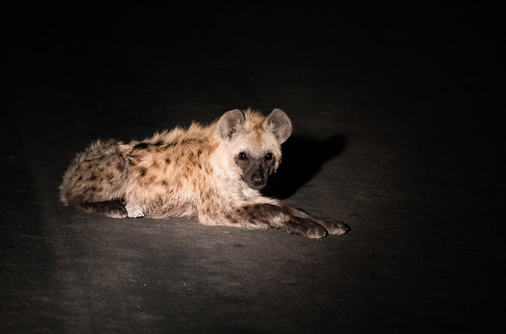 A hyena laying on the road at night. Avoid using a flash and rather increase ISO (3200), moderate aperture (f4.0) and adjust shutter speed to control the level of exposure (1/160sec). The flash light is directed onto the road rather into the eyes of the animal.