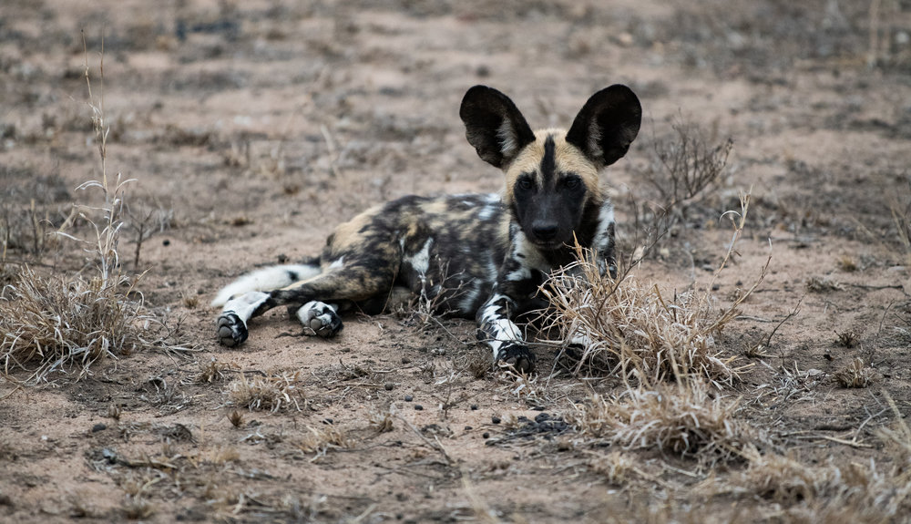 African Wild Dog pup: The dry conditions during Winter months makes viewing wildlife much easier.