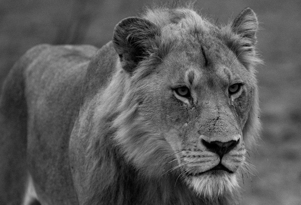 photography_lionbw-1090.jpg