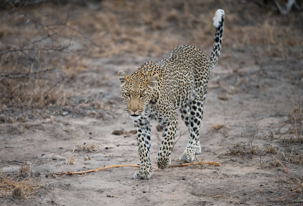 photography_leopard-2639.jpg