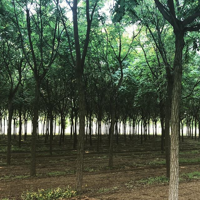 Selecting trees for our project in Beijing. The city is planting 1 million trees in 2018. We're adding another 500. #dropinthebucket #1000500 . . . . #landscapearchitecture #treeplanting #wildbydesign
