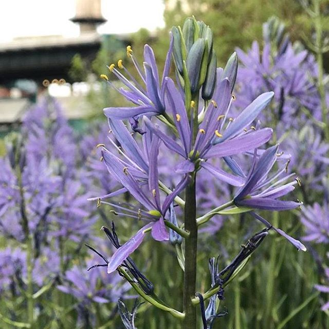 Camassia in Queens Plaza beautifully captured by @sparrowhawk_88 #thatbluetho #wildbydesign #queensplaza #landscapearchitecture