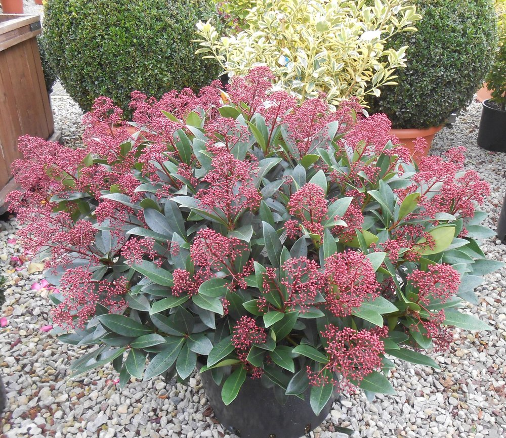 Brighten Up Your Garden This Winter With A Skimmia Japonica