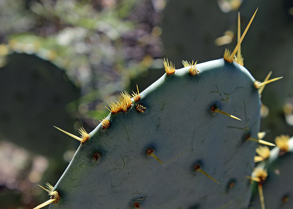 OITP Big Bend Prickly Pear web.jpg