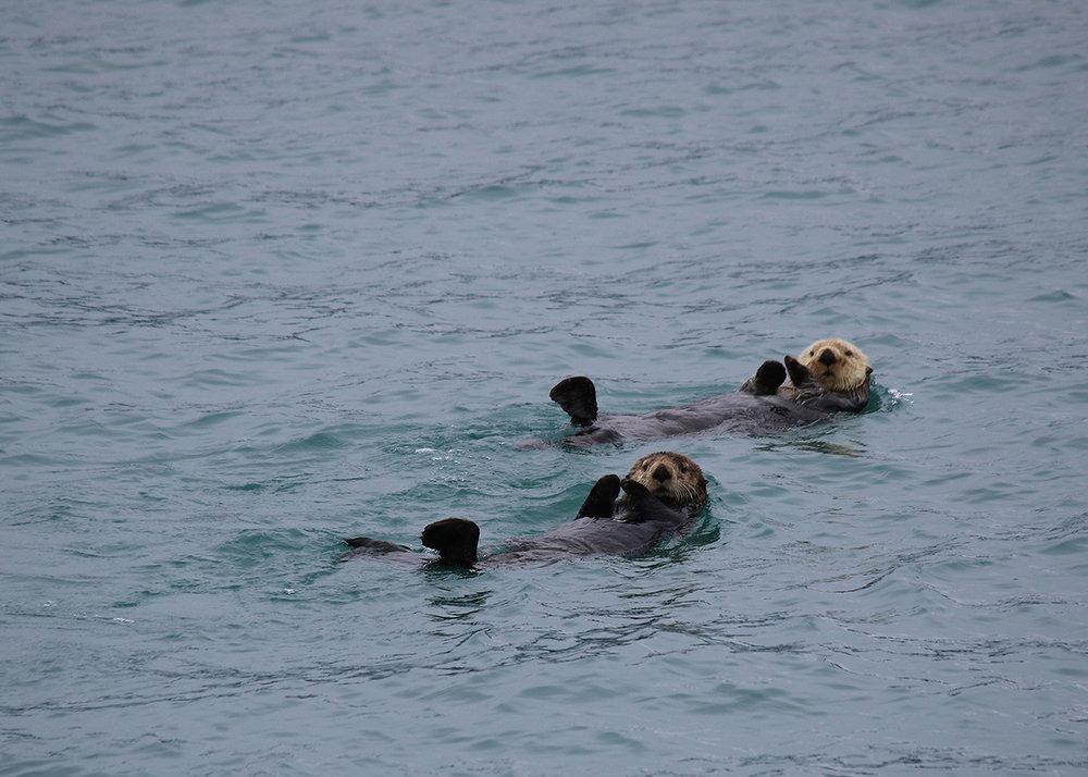 OITP Glacier Bay Otters web.jpg