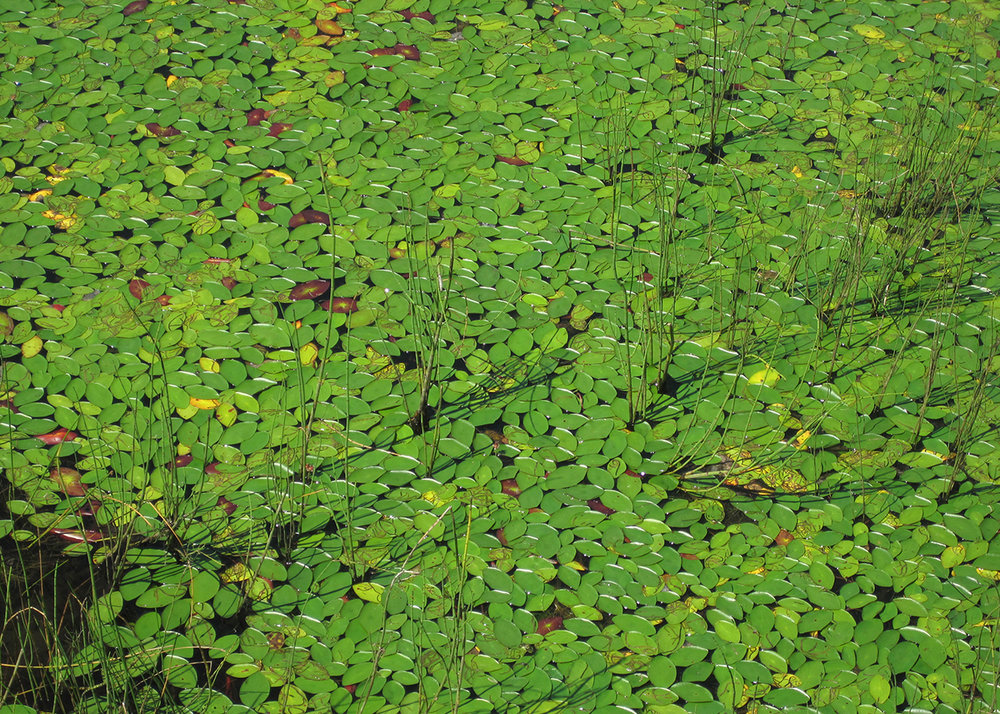 OITP Isle Royale Leaves web.jpg
