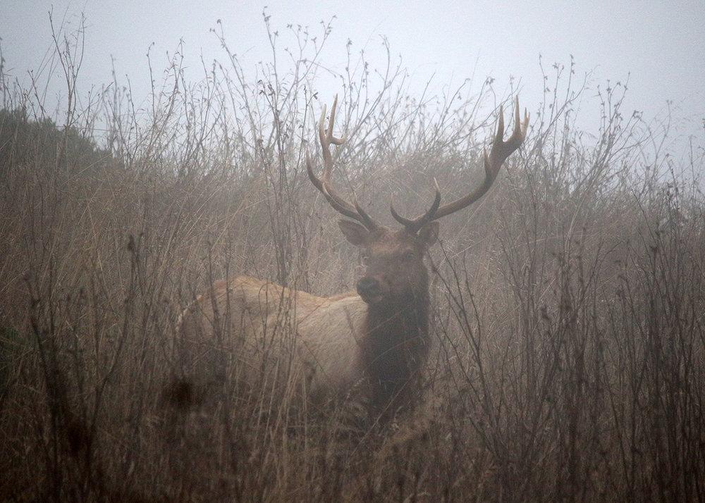 OITP Point Reyes Elk web.jpg