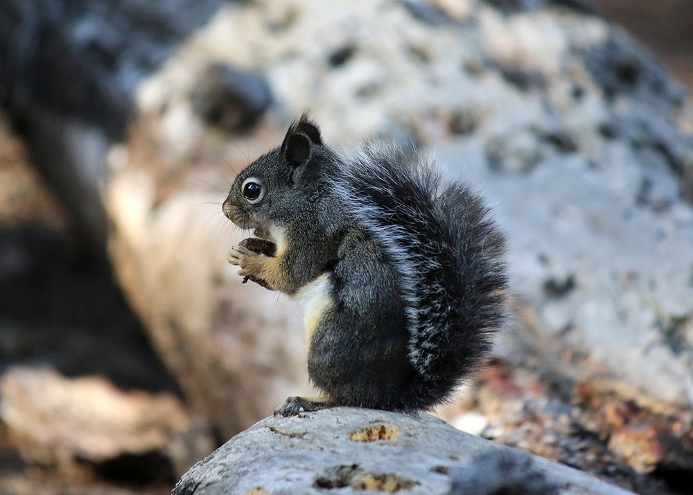 OITP Yosemite Douglas Squirrel web.jpg