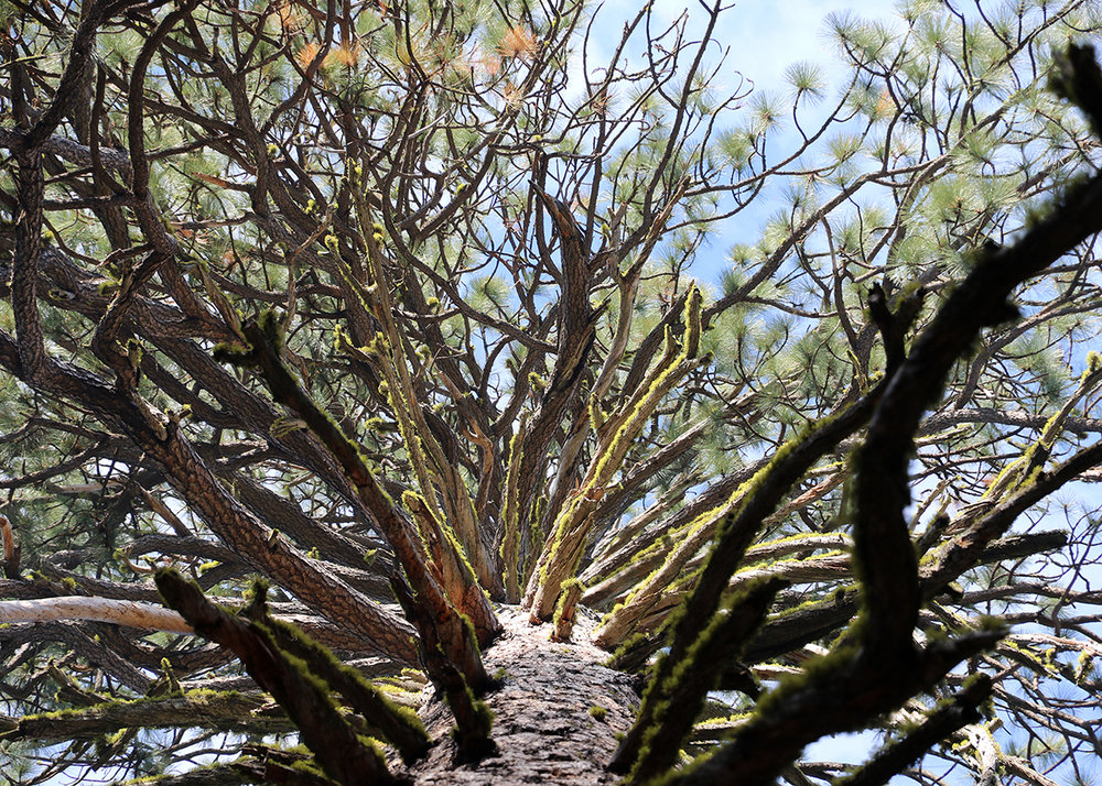 OITP Yosemite Ponderosa Pine web.jpg