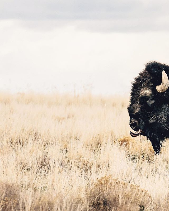 """""""I wonder how the buffalo feel about it being named Antelope Island?"""" —my pops __ #sonyalpha #antelopeisland #buffalo #buffaloisland"""