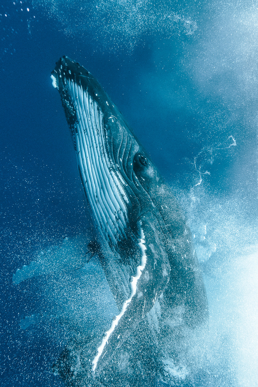 KARIM_ILIYA_Whales_humpback_underwater_dancing_swim_animal_whale_Tonga_dive 11 8