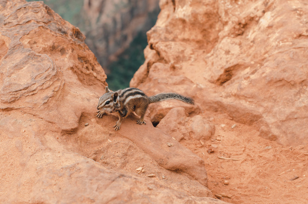Zion chipmunk waiting for us to drop food