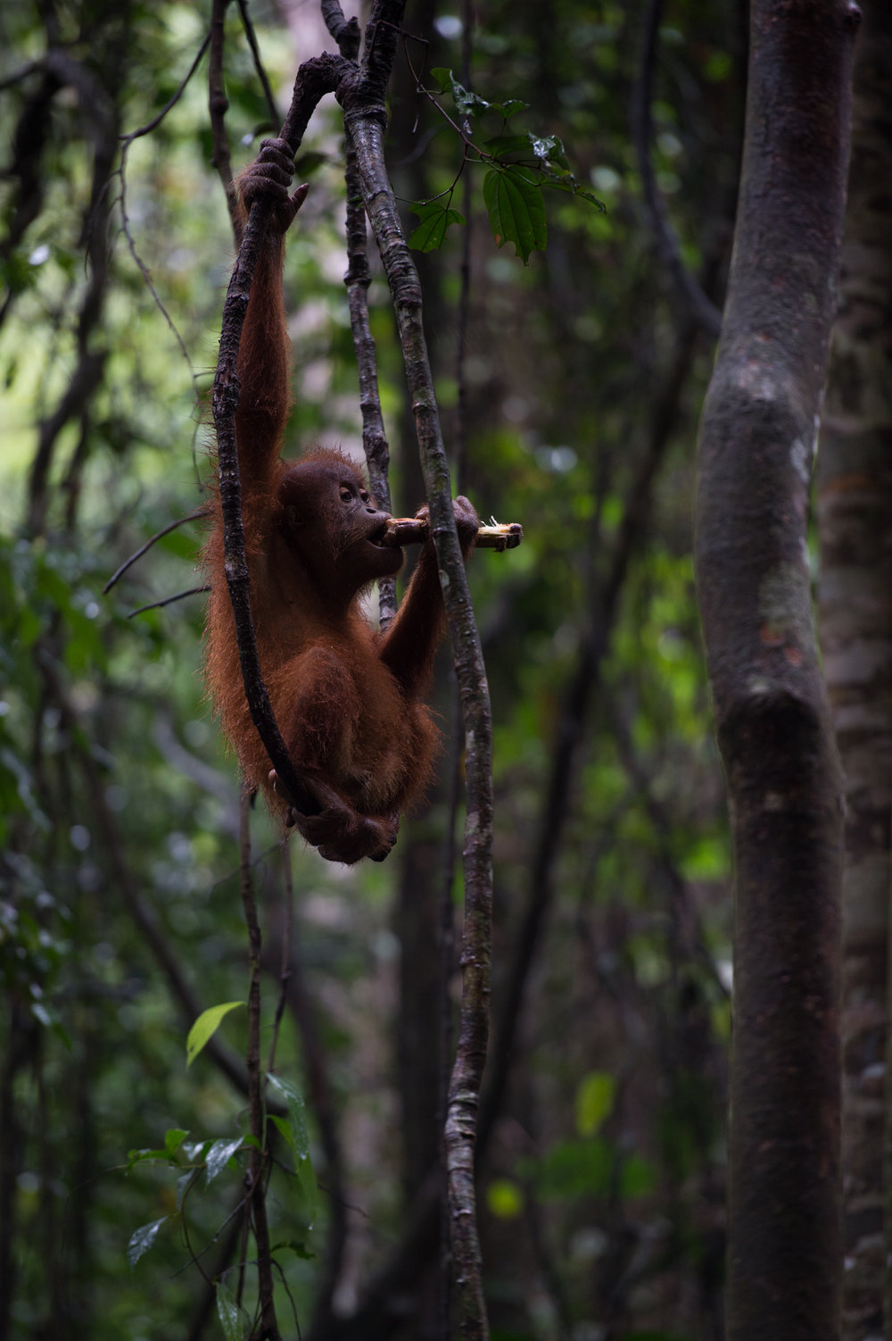 Orangutan Trekking in the Jungles of Sumatra - Photo by Timo Stahl (Instagram: @stahlson_vom_dach)