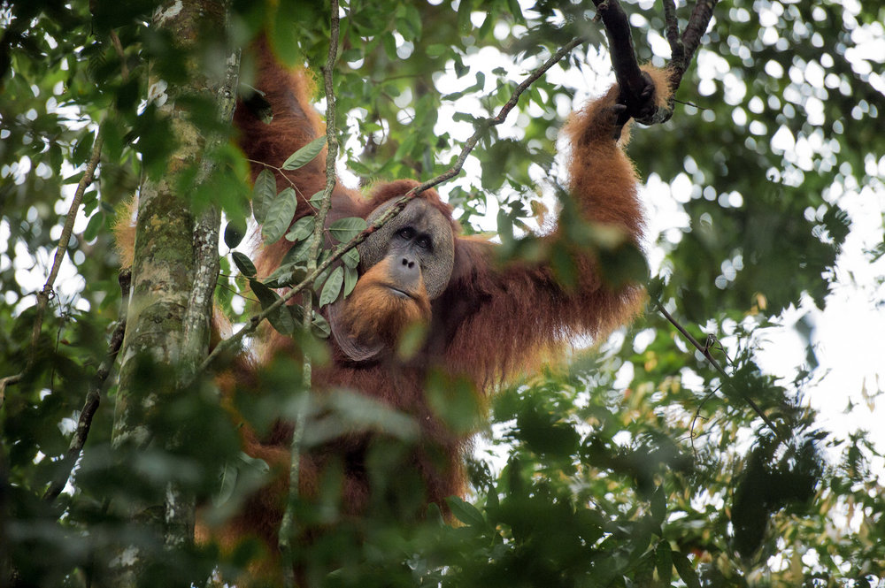 In 2018 I visited Sumatra and went orangutan trekking