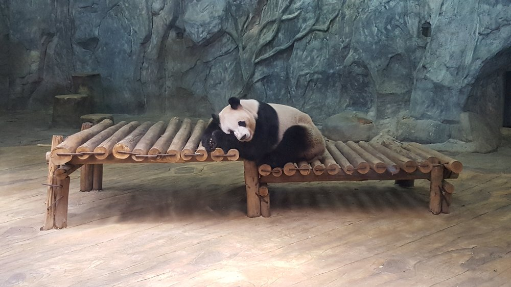 In March, 2018 I got to see my first Panda in Shenzhen