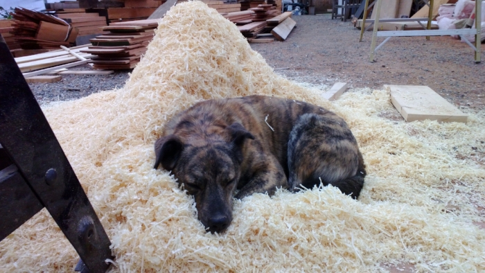 Nothing like sleeping on sawdust to make a dog feel like a true shop dog.