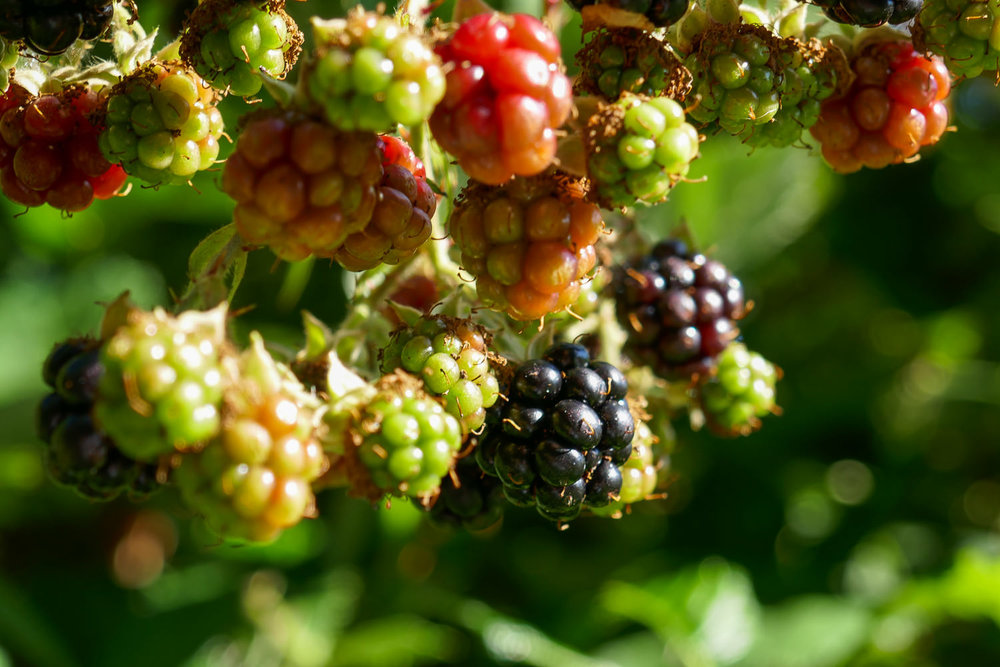 Wild Blackberries at Treehouse Resort and Spa.