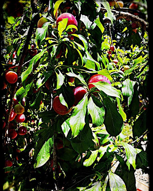 Gotta luv the fruit season in NorCali! #plums #pies #handpies #scones #bakery #pastrychef #marin #tastekitchenandtable #sanrafael