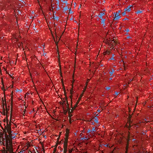That red 🙌 You don't quite get that same Autumnal colour pallet in Australia. #lovenature #naturalbeauty #autumn #redleaves