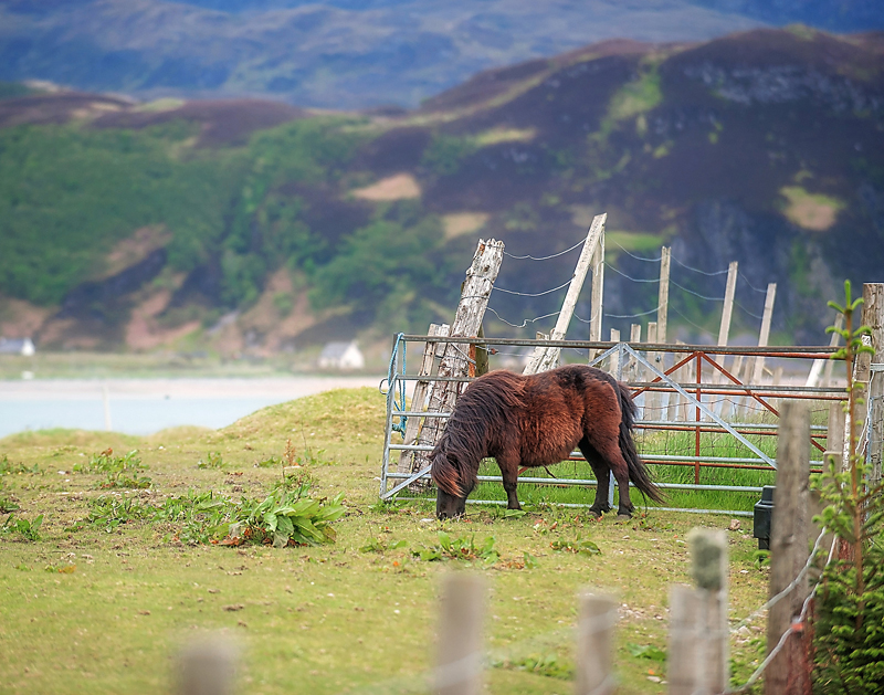 11x14 scotland pony copy.jpg
