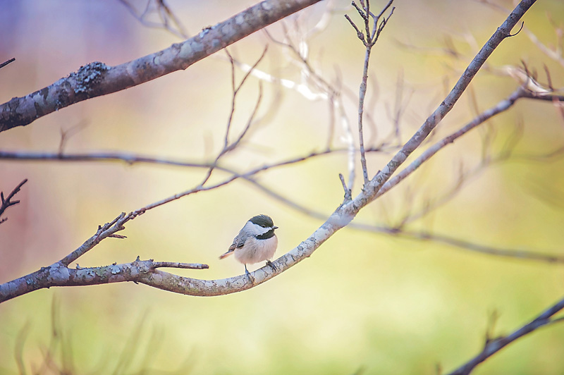 16x24 chickadee copy.jpg