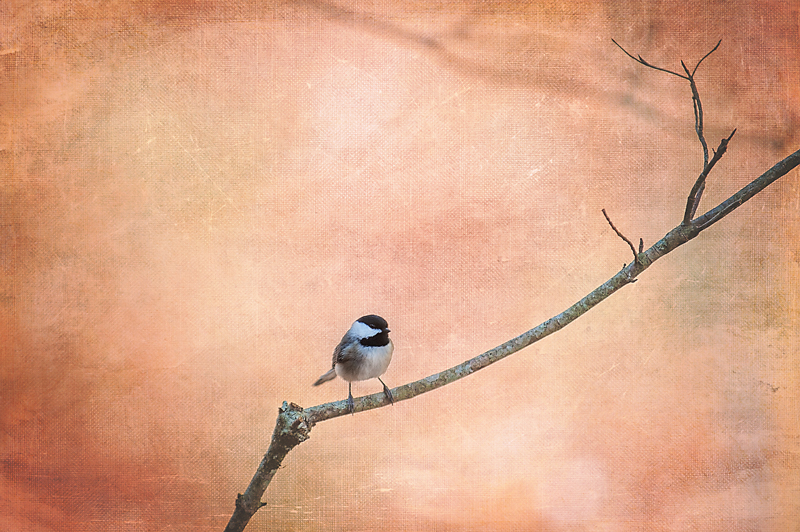 16x24 chickadee canvas texture copy.jpg