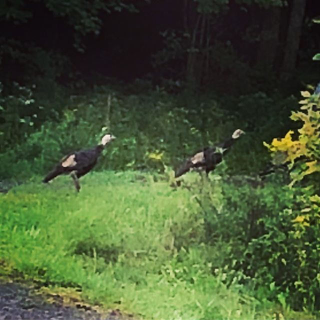 That's right, turkeys. Thanksgiving is right around the corner. RUN! . . . #weddingvenue #weddingvenuenyc #weddingsummer2018 #summer2018wedding #weddingplanning #weddingphotography #weddingdecor #weddinginspo #weddingideas #farmhousewedding #TCMH #eventplanning #barnwedding #airstream #airstreamdreams #airstreamdream