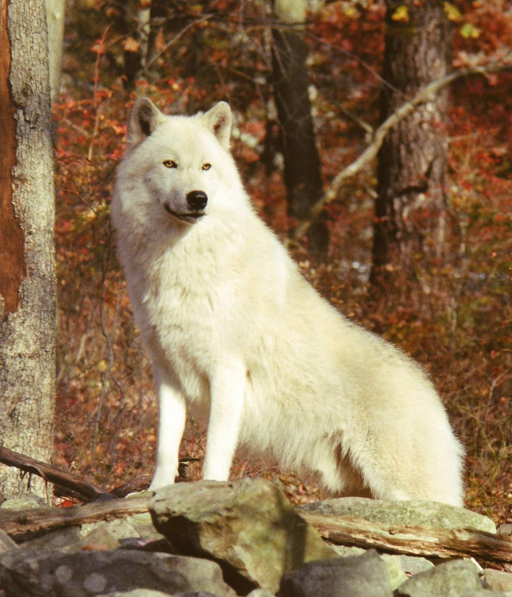 [Image: Arctic+Wolf+Original.jpg]