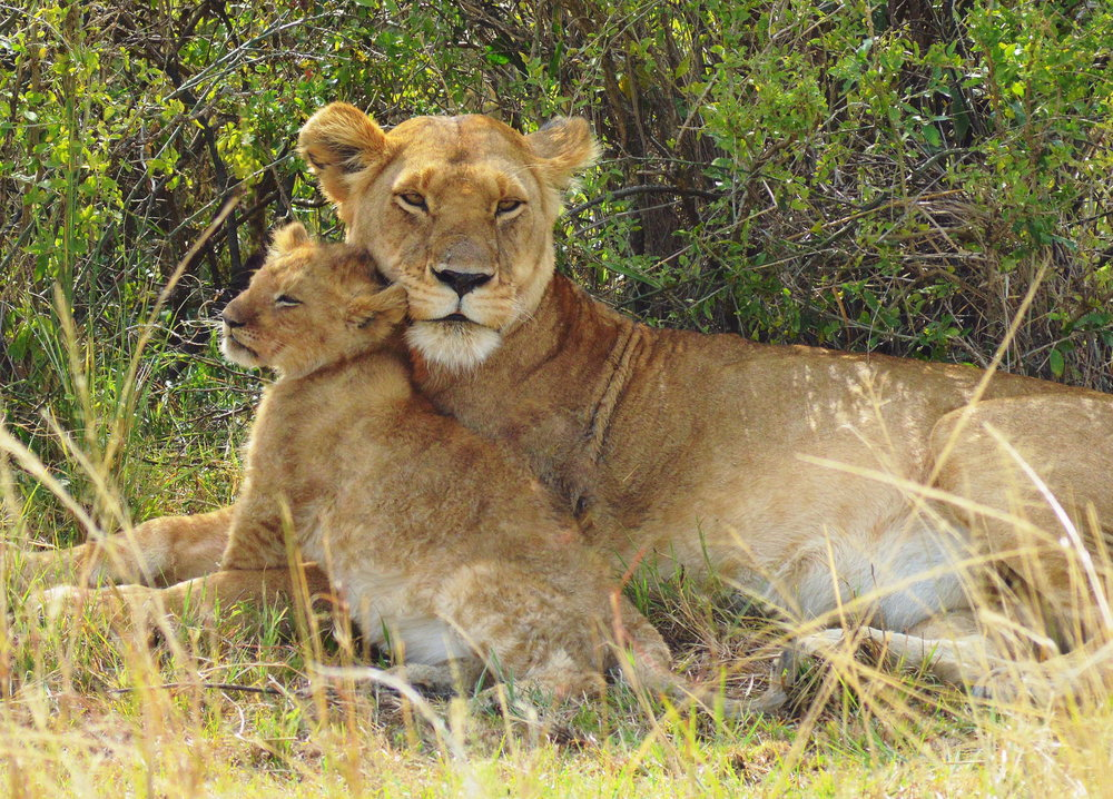 lioness with cub ted schiffman photography