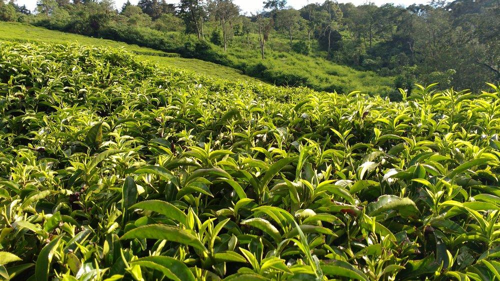All the tea in Kenya...