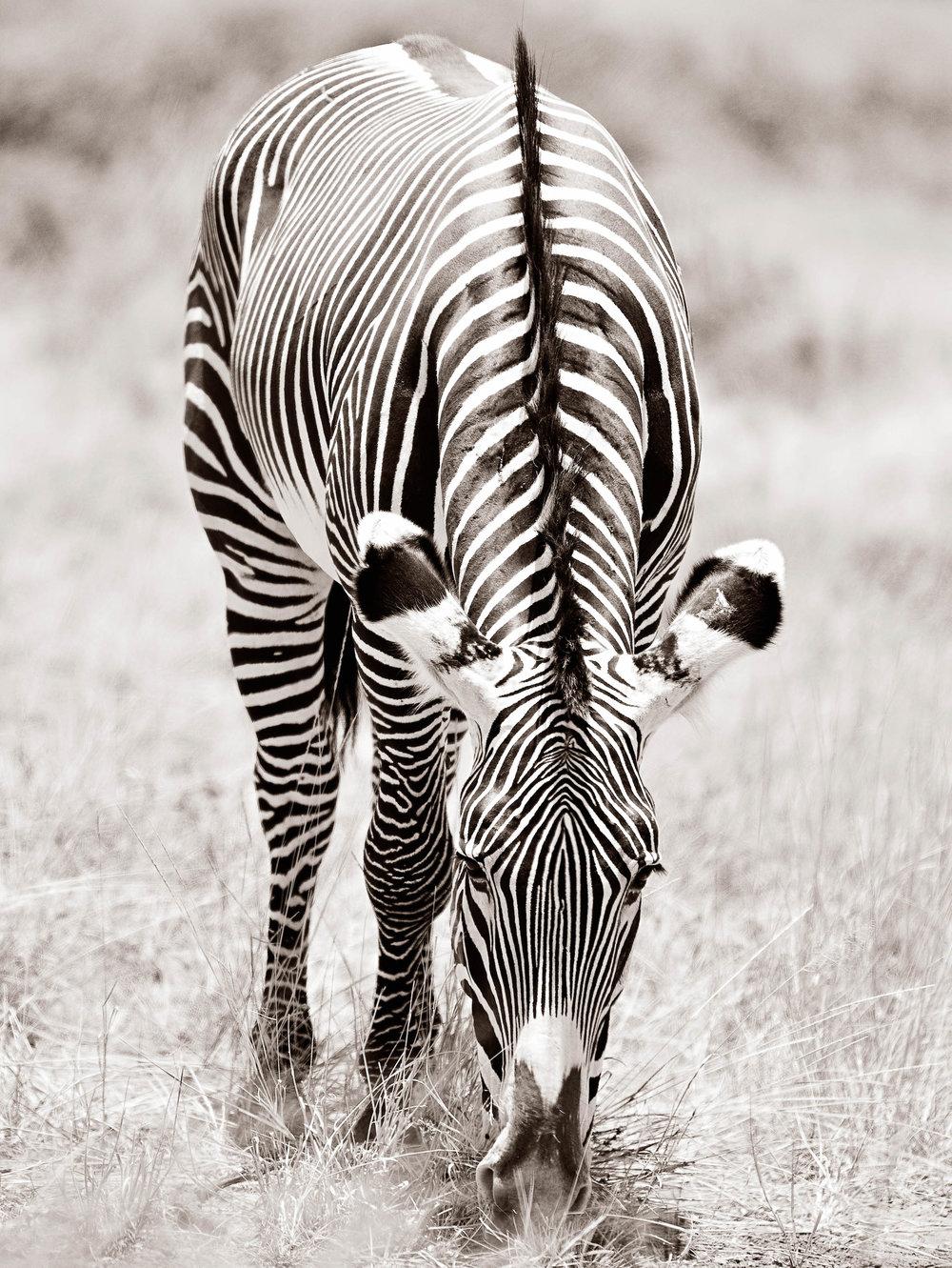 _O3H4327_57x44_Zebra.jpg