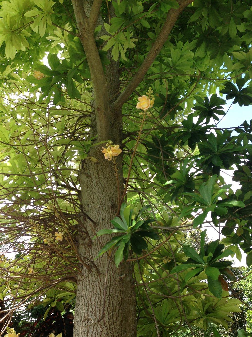 """Cannonball Tree""Couroupita guianensis"