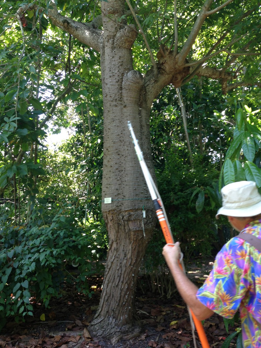 Sugar Loaf tree