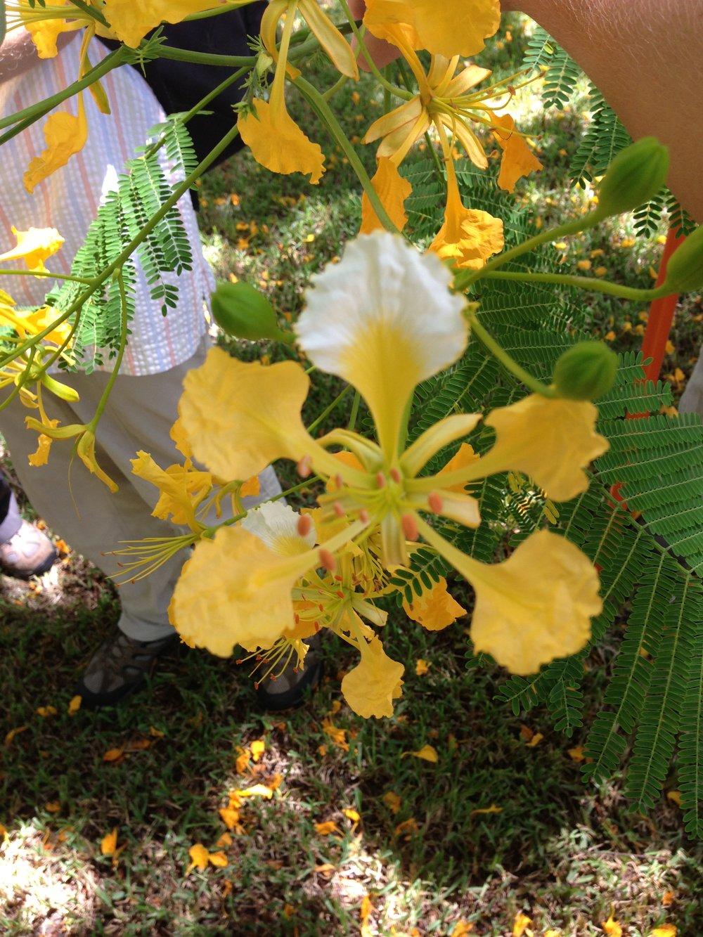 The yellow Royal Poinciana!