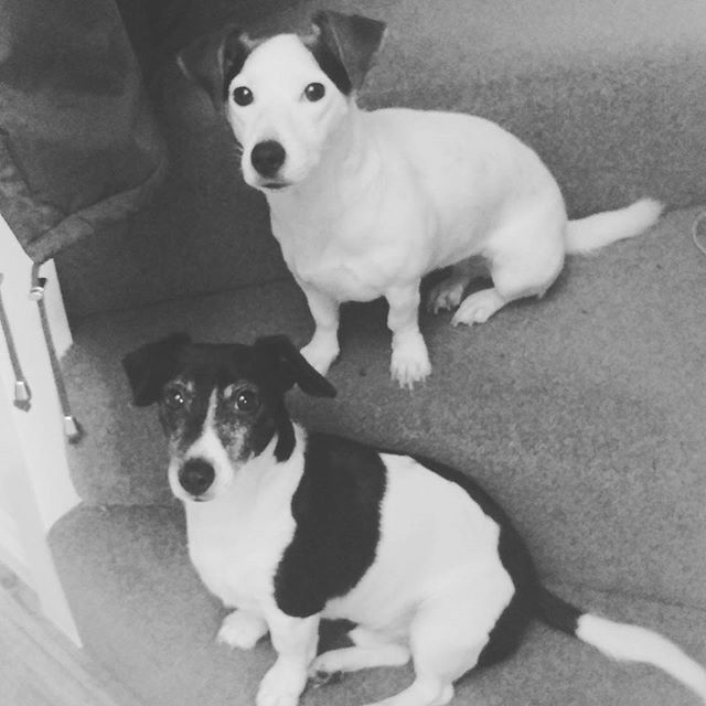 Sometimes I think it's weird how much I love these pups. Then I look at their adorable little faces and realise there's no shame. 🐕🐕 #lovemydogs #puppylove #jrt #jackrussell #partofthefamily
