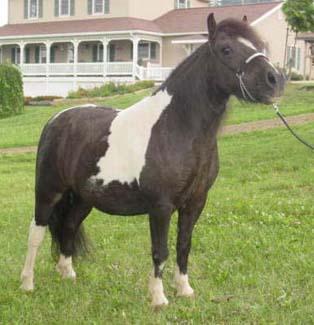 "Odesseus Hallmark (Whipporwills Warpaint x 4 Gs Equalizers Black Brownie), Gelding, Foaled 5/21/02; 33.75"" Permanent"