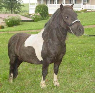 """Hector Hallmark, (Whipporwills Warpaint x Maggie Mae Hallmark), Stallion, Foaled 5/20/03; 28"""", DNA Tested"""