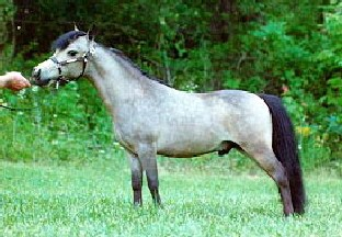Lucky Four Golden Note (Dell Teras Snowman x Dorsas Katie) 5/6/89, 30.75 in Buckskin, Gelding