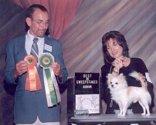 I had the honor of judging the Sweepstakes at the Chihuahua Club of Michigan's Specialty show in June of 2005. The handler is Maria Sulecki and she is showing Tiny Mites White Knight. He was awarded Best Senior in Sweepstakes. This was a challenging and enlightening experience.